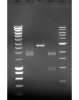 DNA Stain G by Serva